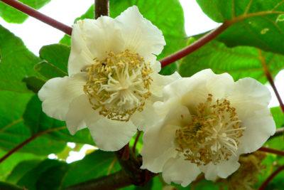 Цветок киви