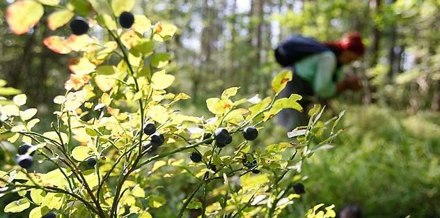 Черничные кусты в Уральских лесах