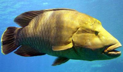 Прототип Мистера Группера: рыба-групер, длиной в природе от 20 см и до 2,5 метров