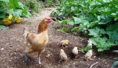 Курица с цыплятами в условиях свободного выгула