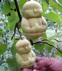 Груши, выращенные в специальной форме китайским фермером